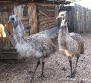 Двухлетние страусы