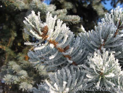 еловые ветки зимой