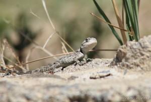 ящерица в Турции