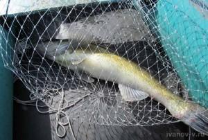 поймал судака на озере Волго