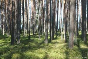 сосновый лес на берегу озера