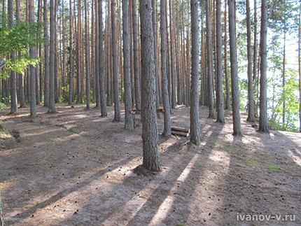 сосновый лес на берегу Волго