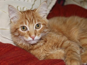 наш рыжий кот Пикассо