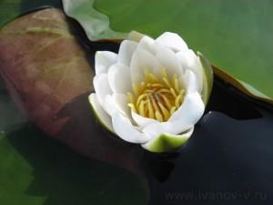 Озеро Волго. Цветы на воде.