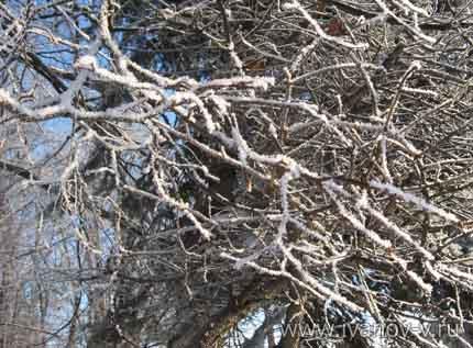 ветки деревьев зимой
