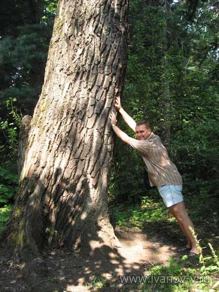 Деревья великаны в ботаническом саду ТвГУ