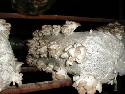 Выращивание грибов вешенки