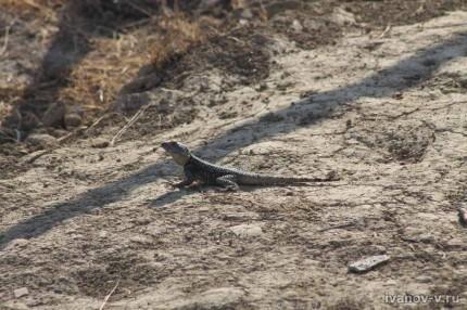 Ящерицы в Турции фото