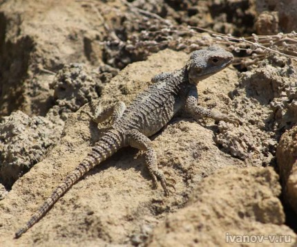 Фото ящерицы в Турции