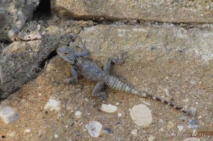 Фотография ящерицы в Турции